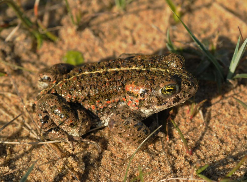Britain's sand dunes, which have declined by a third since 1900, provide homes for species including the natterjack toad, pictured