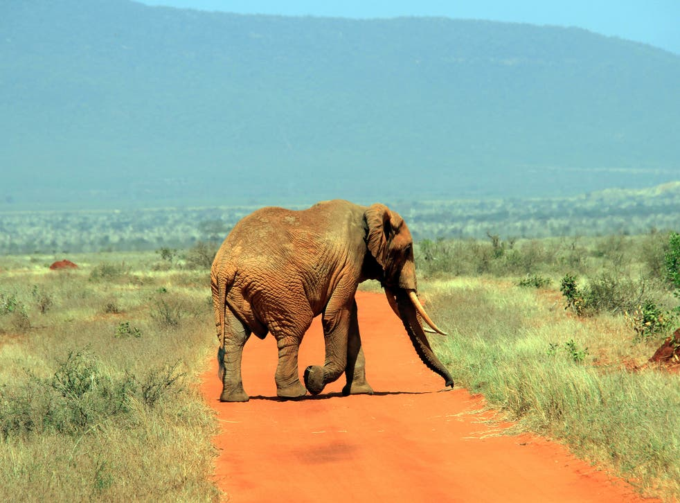 A huge bull on the plains of Tsavo, home to 40 per cent of the country's elephant population