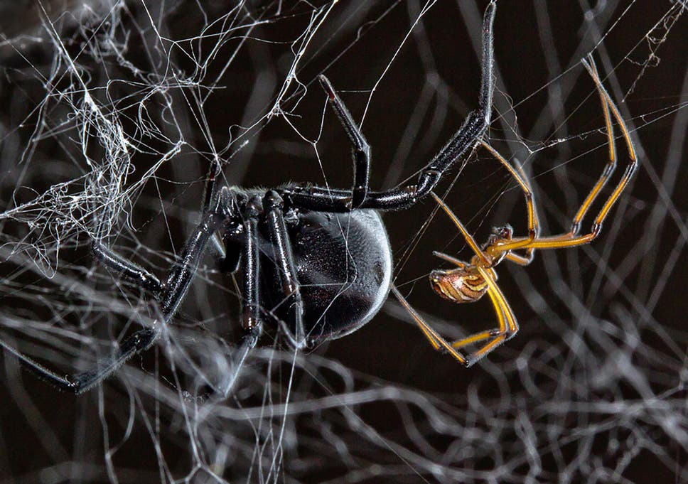 Science news in brief: From mating black widows to mega