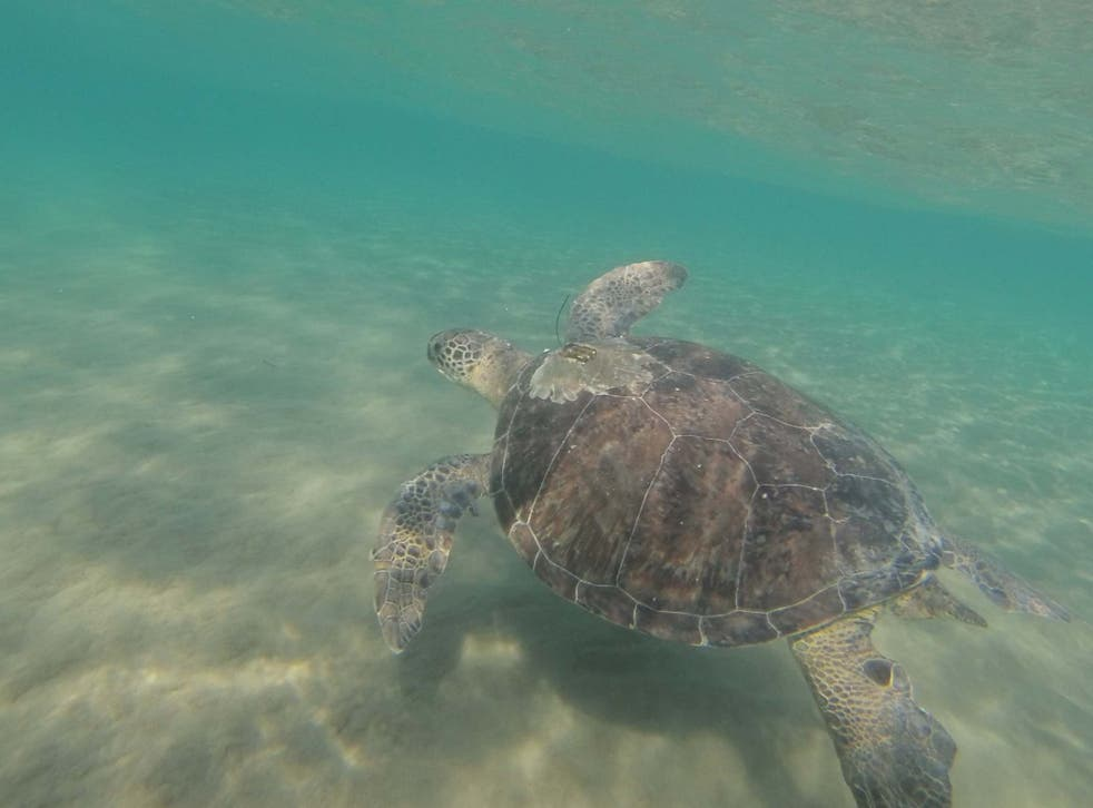 A research team from the University of Exeter examined the guts of turtles found washed up on beaches in Cyprus