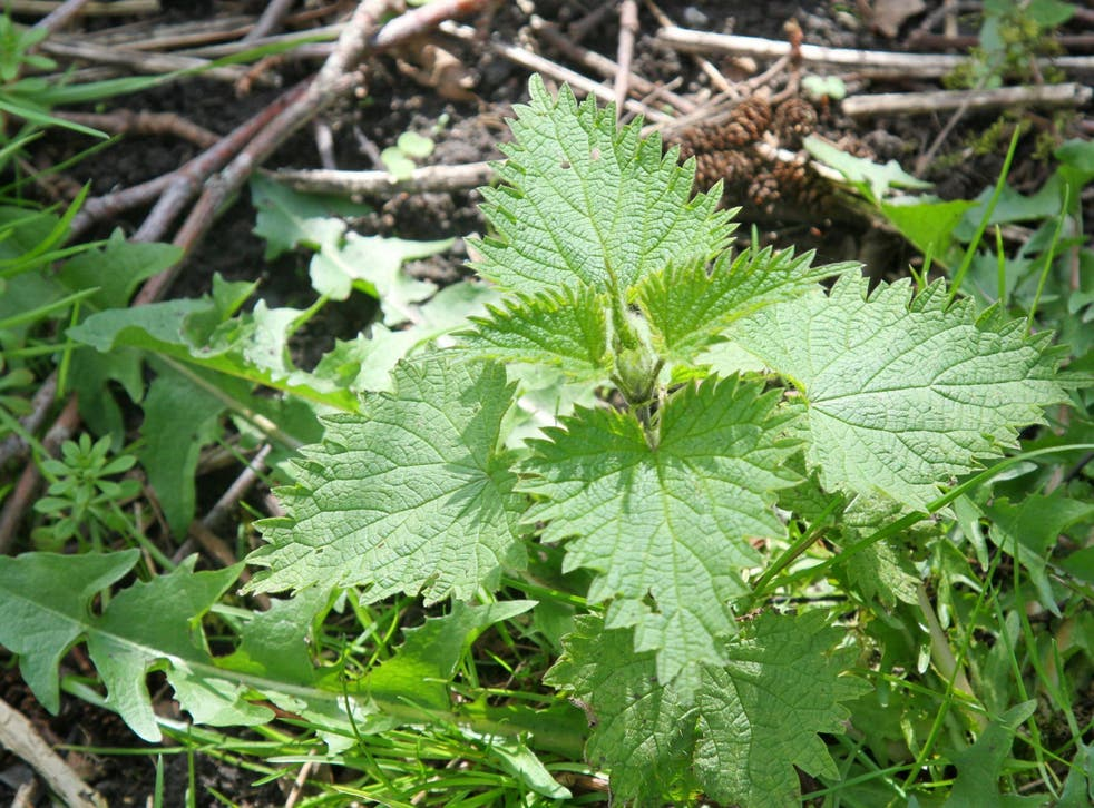 One in four children didn't know what a badger, robin or conker looked like. Pictured is a stinging nettle