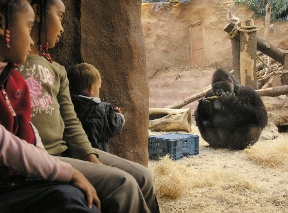 Richard, a gorilla in Prague Zoo, appeared in a TV reality show along with two females. The public was asked to vote for their favourite gorilla