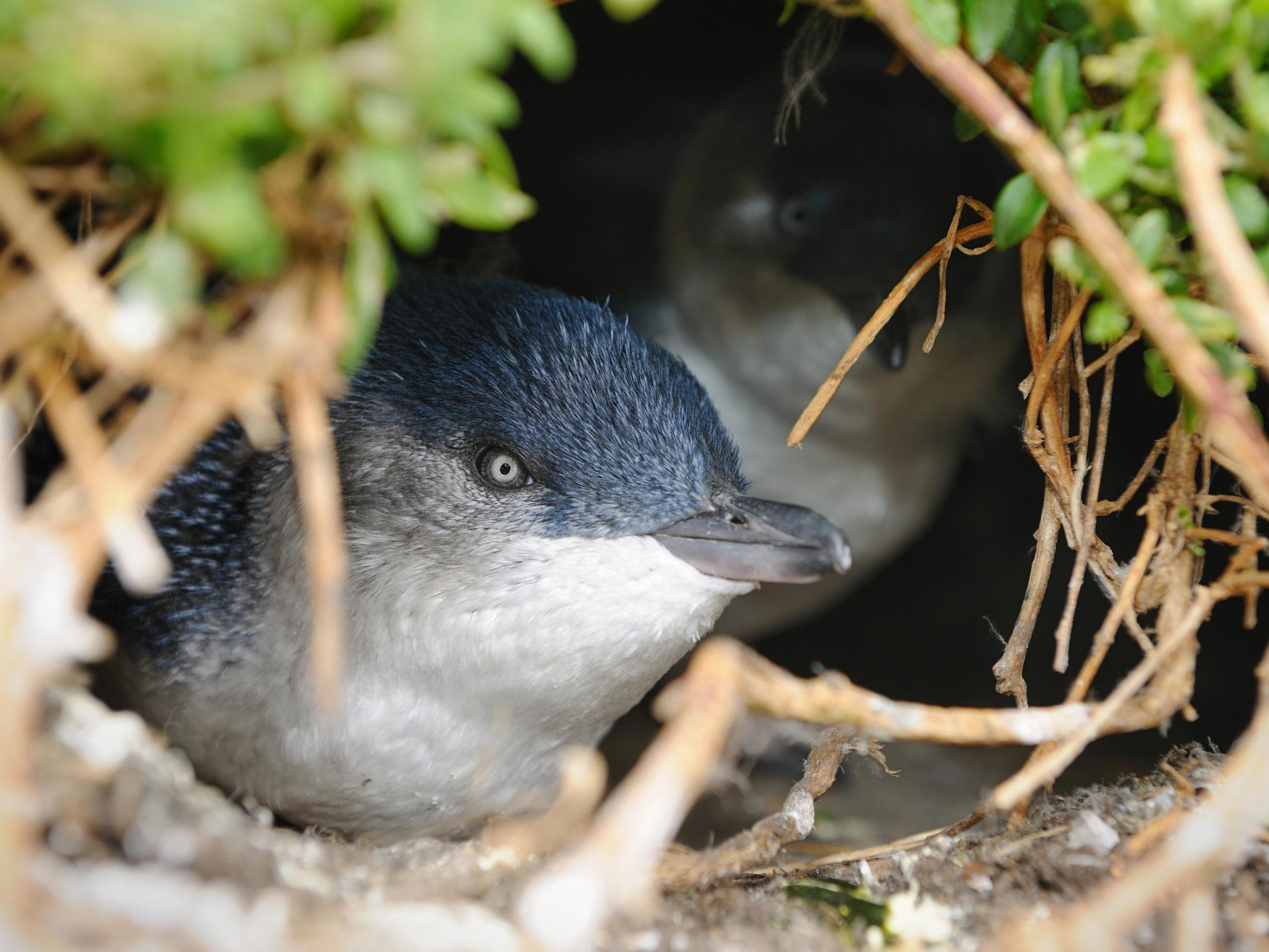 Why an Australian suburb was demolished to save tiny penguins