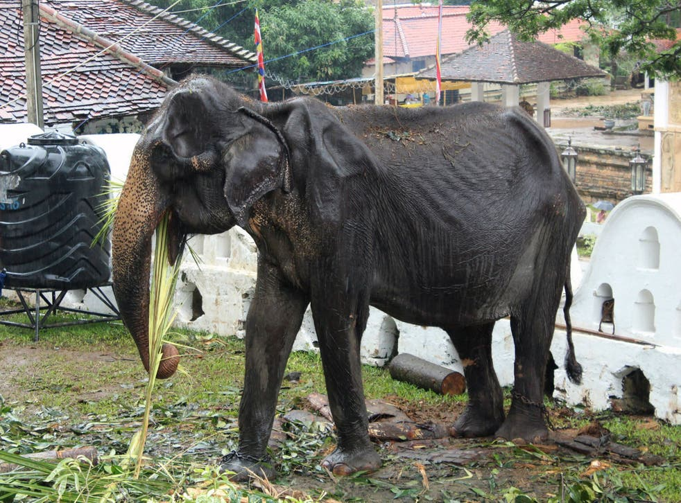 70-year-old emaciated elephant Tikiri eats at the Temple of the Tooth in the Sri Lankan city of Kandy, where she took part in an annual street parade