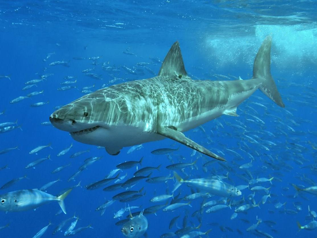 'We've been bullied out of the water by the sharks': Rise in great white numbers triggers panic on US beaches