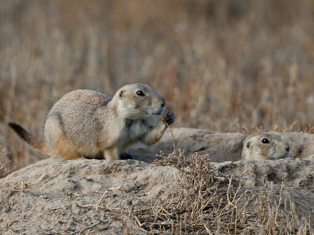 Colorado officials discovered plague-infected fleas were biting prairie dogs at a 15,000 acre nature area in late July
