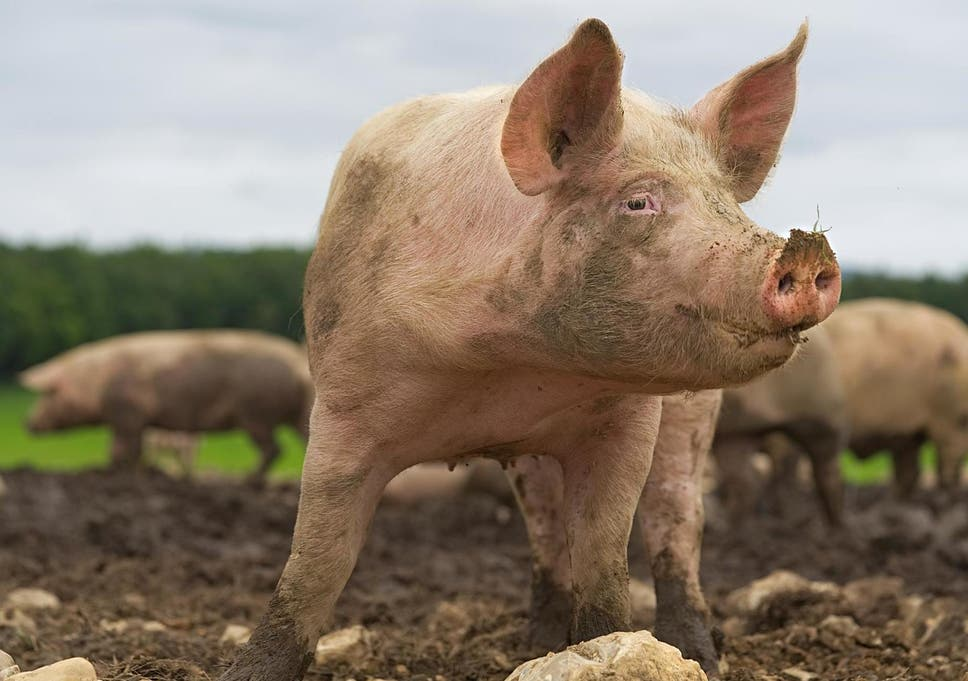 As pigs' heart anatomy is similar to that of humans, the animals have been used as models for developing new treatments