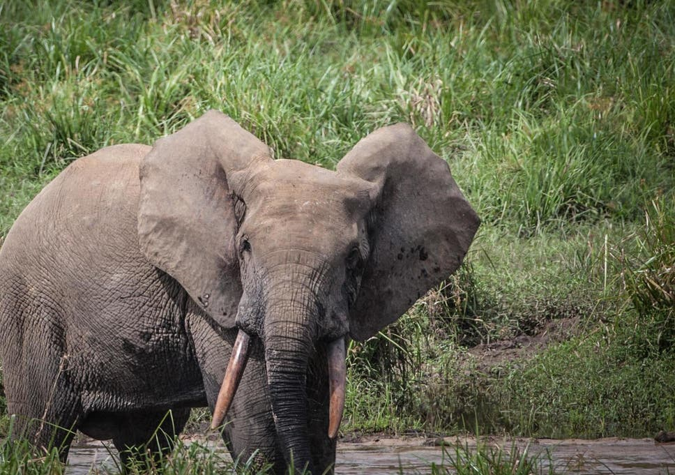The poaching of forest elephants has recently spread to Gabon, which holds half of the world's population of the species