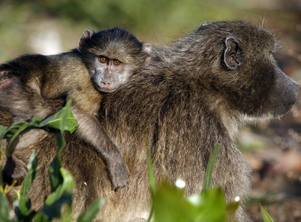 Nearly 400 baboons' carcasses were brought into the UK over three decades