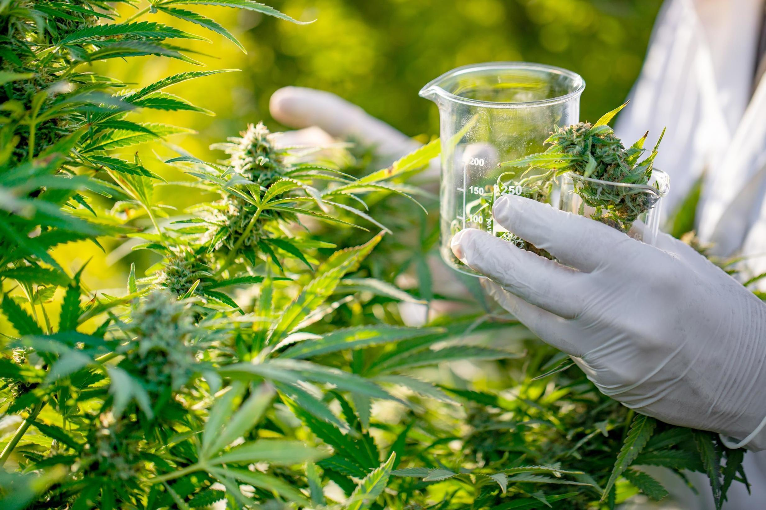 post-image-Cannabis chemical may help treat pancreatic cancer, study finds