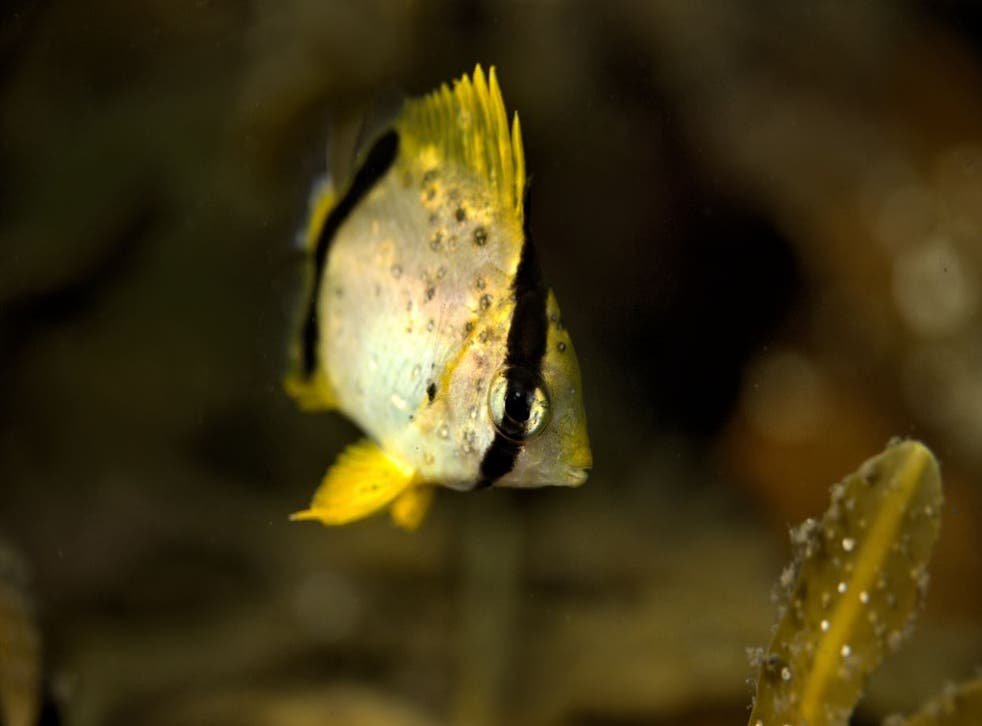 Pictured is a spot fin butterfly fish which is most commonly found in the Caribbean Sea. Scuba diver and photographer Lloyd Bond says he's seen a dramatic increase in tropical fish in Canadian waters