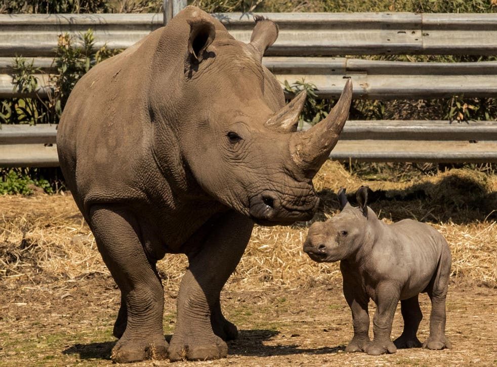 Rhinos are rarely seen in the wild as three of the animal's five species are critically endangered due to the poaching trade