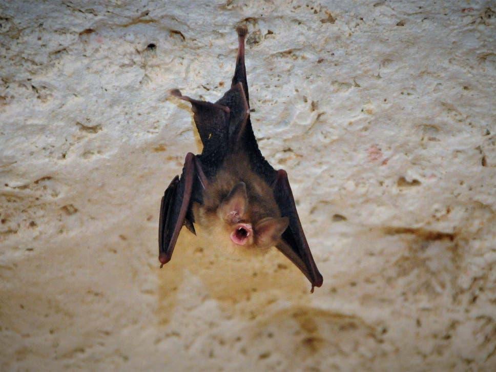 Das Große Kuba-Trichterohr | Bildquelle: www.independent.co.uk © ZSL/PA Wire | Bilder sind in der Regel urheberrechtlich geschützt