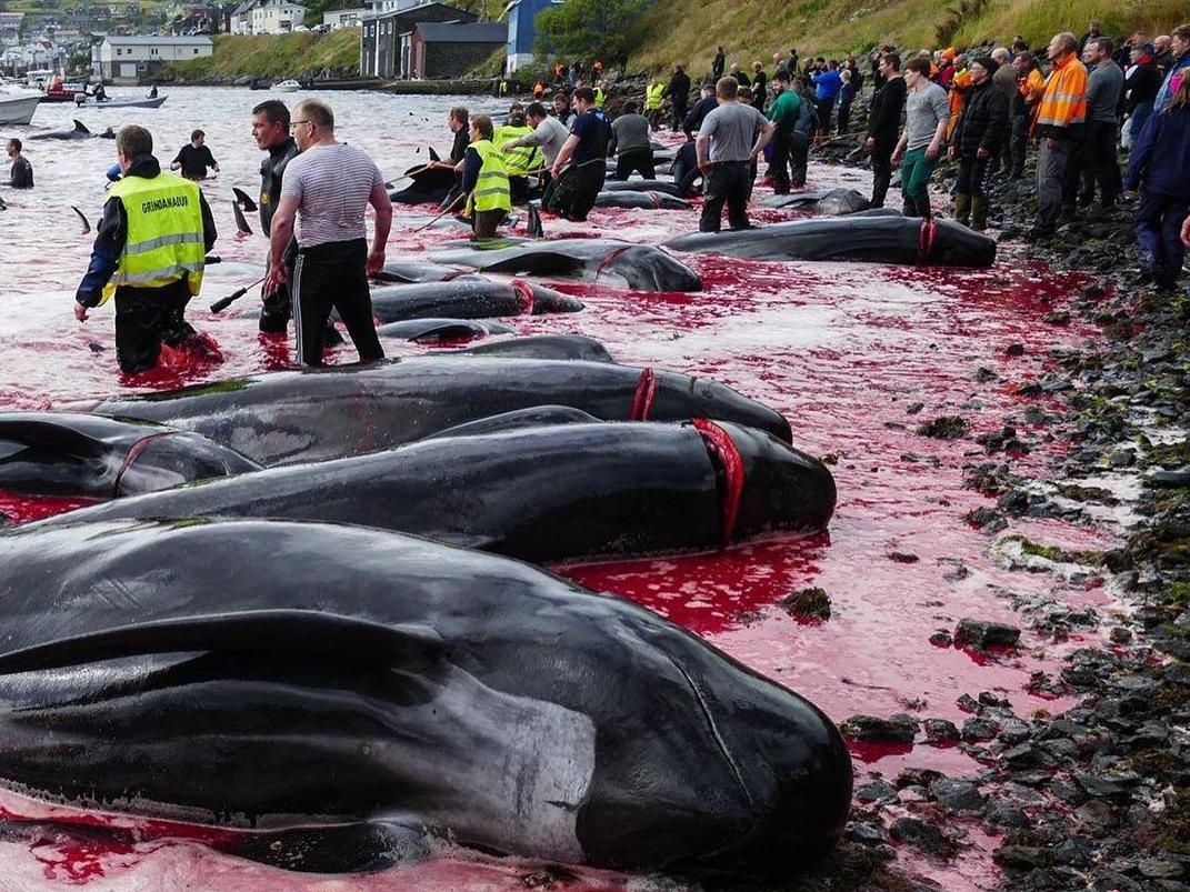 Almost 100 whales driven into shallow bay before being dragged onshore and slaughtered in Faroe Islands