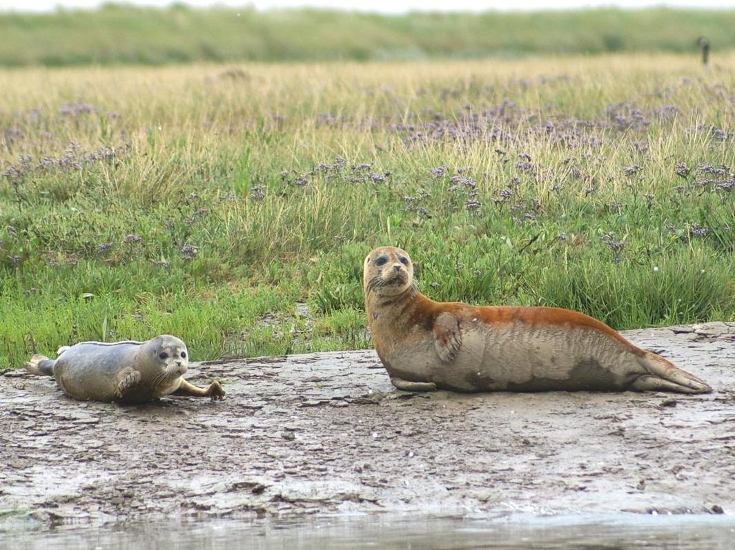 More Than 130 Seal Pups Born In River Thames In One Year
