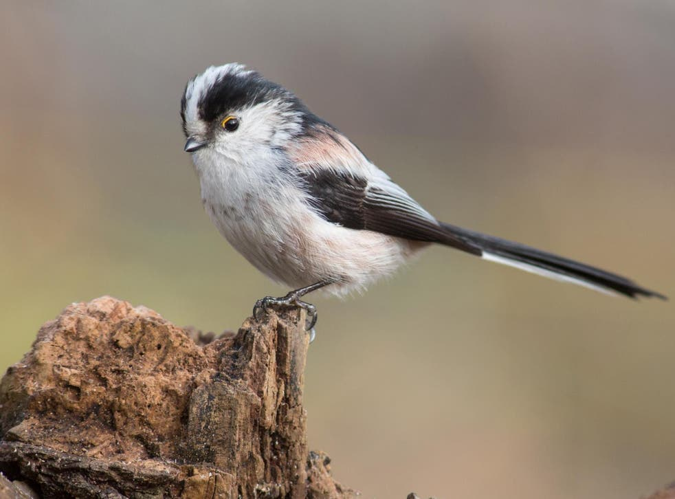 Some 13 species including corn buntings, goldcrests and long-tailed tits (pictured) saw their populations increase