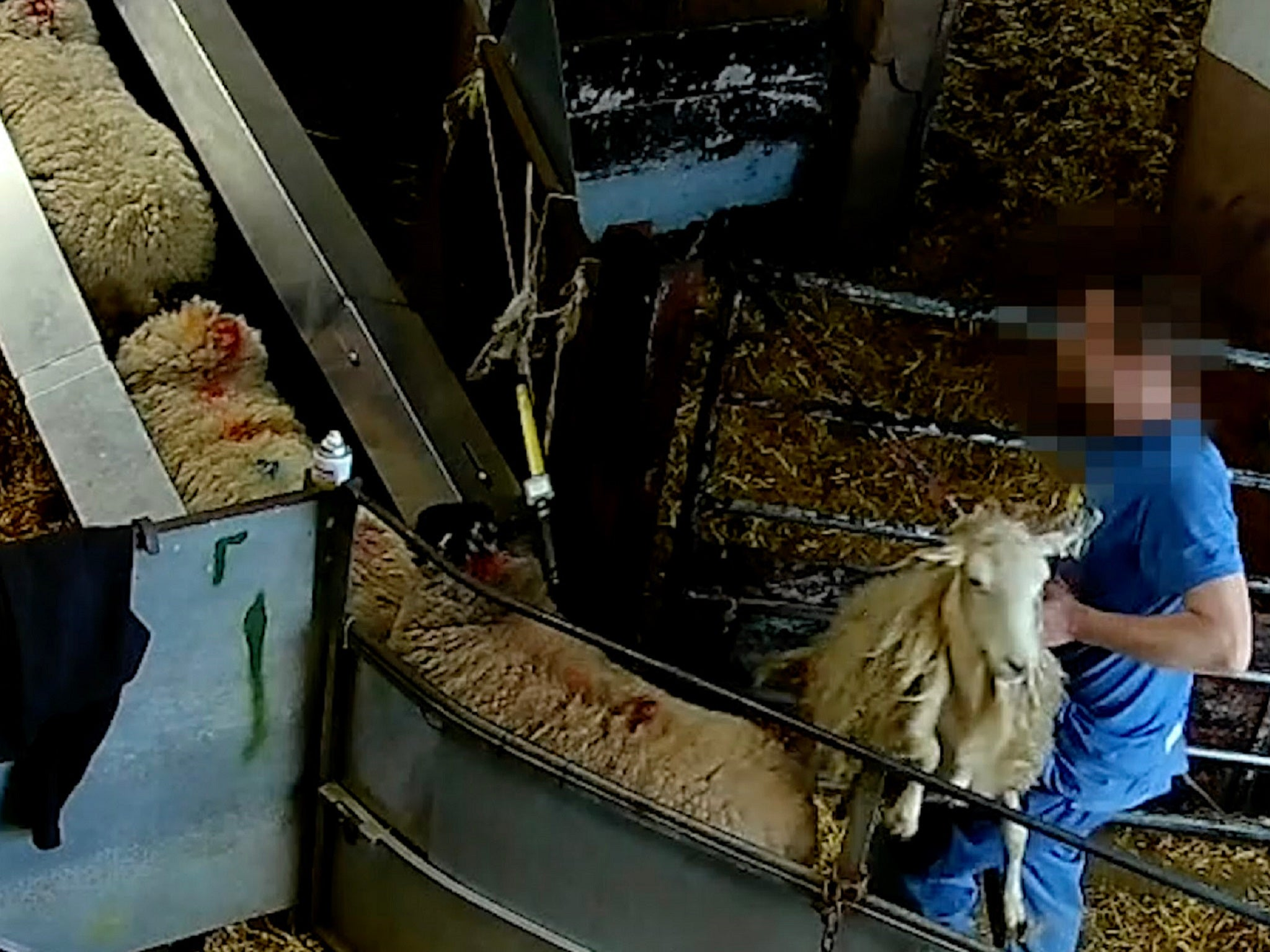 Covert footage shows 'horrendous cruelty' towards sheep at