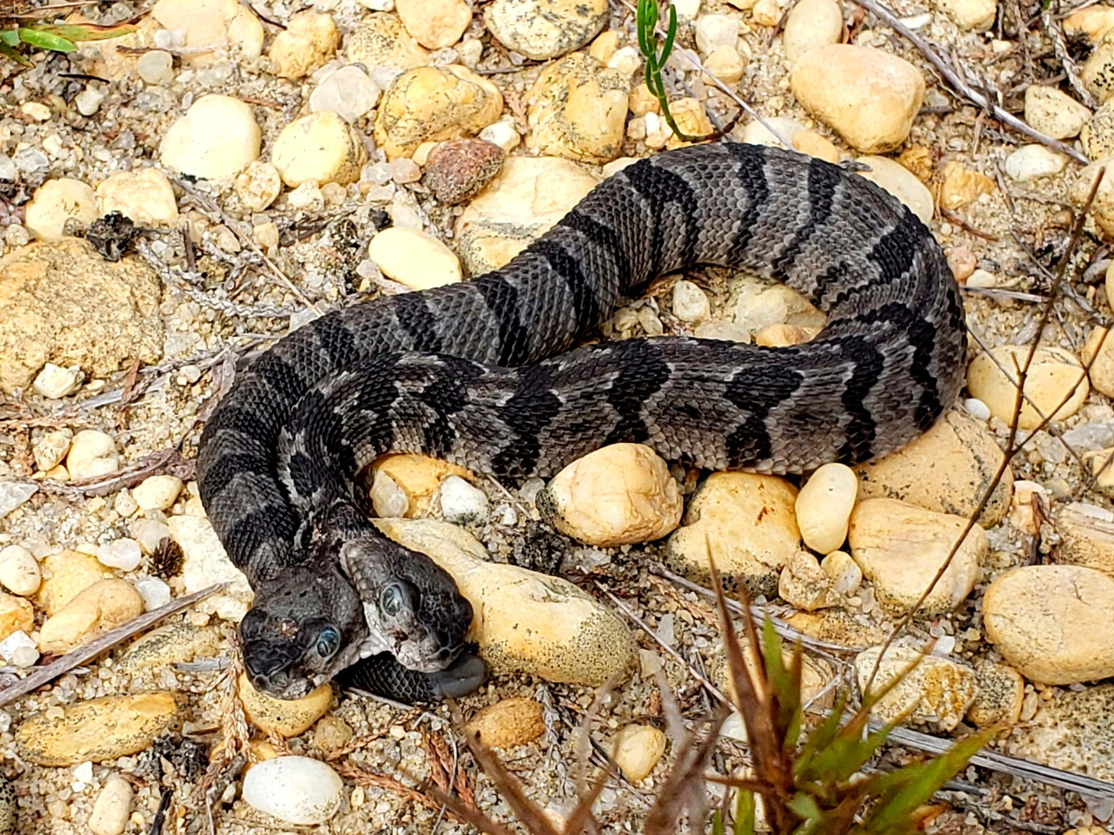 Rare two-headed rattlesnake found in US
