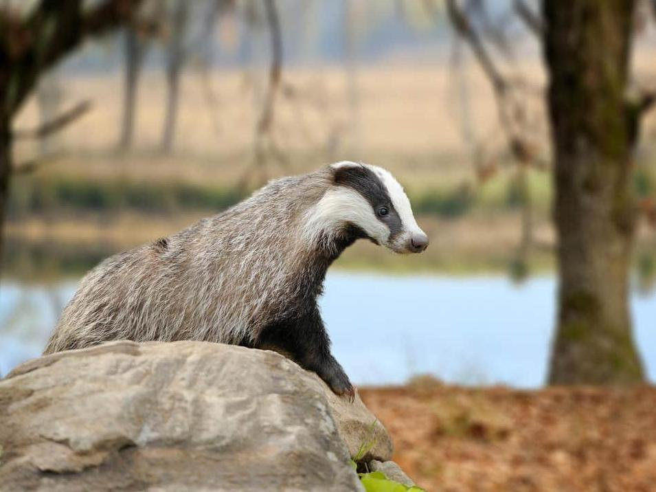 Expanded badger cull will 'push species to verge of local extinction…