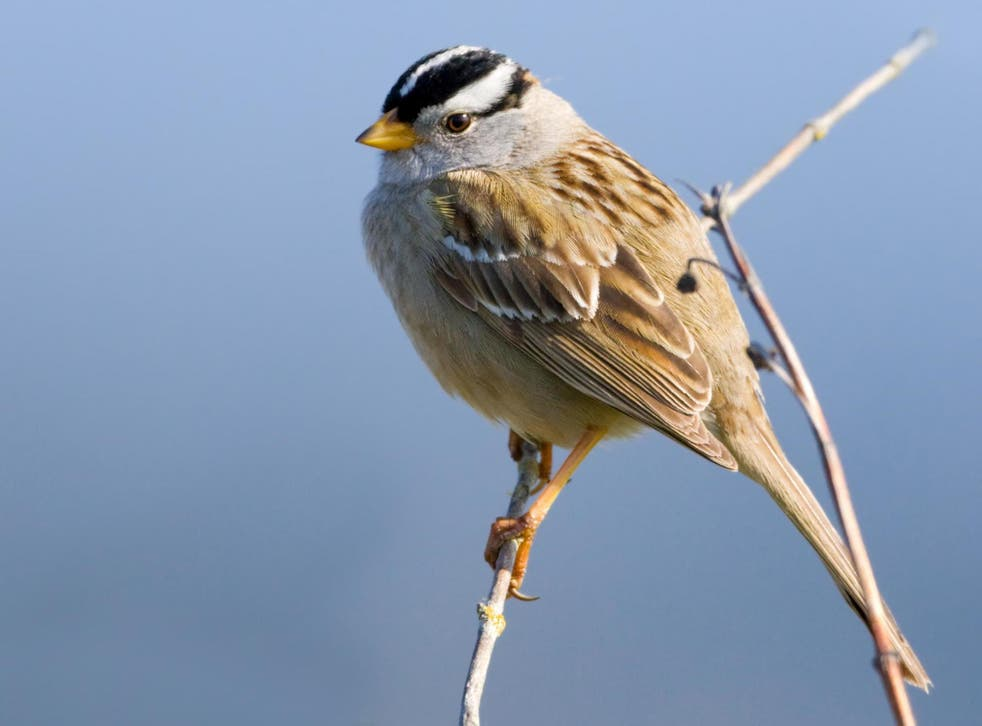 White-crowned sparrows that were given a high dose of the pesticide lost 6% of their body mass within just six hours