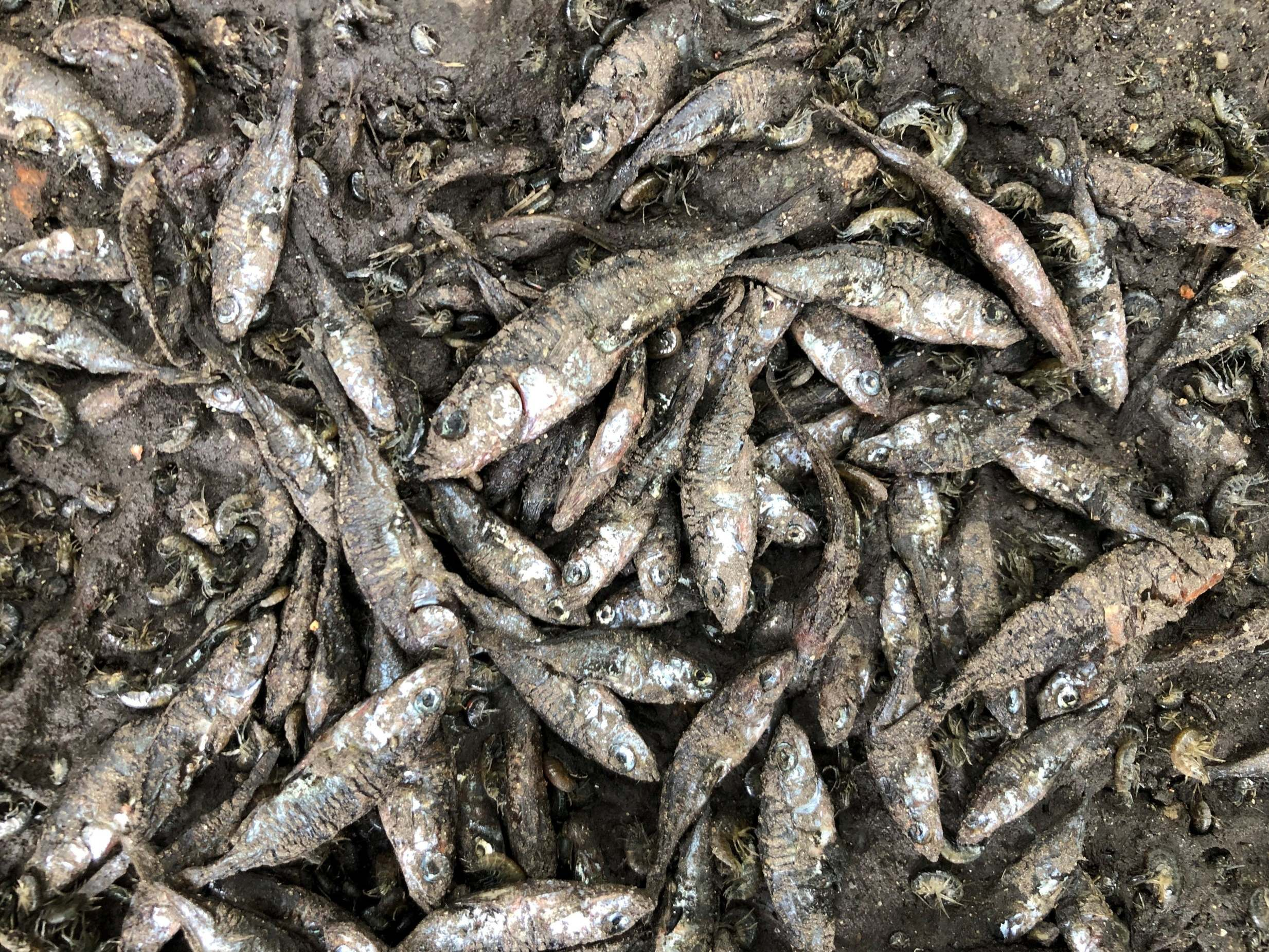 Hundreds of fish lie dead on dried-up bed of once-beautiful British …