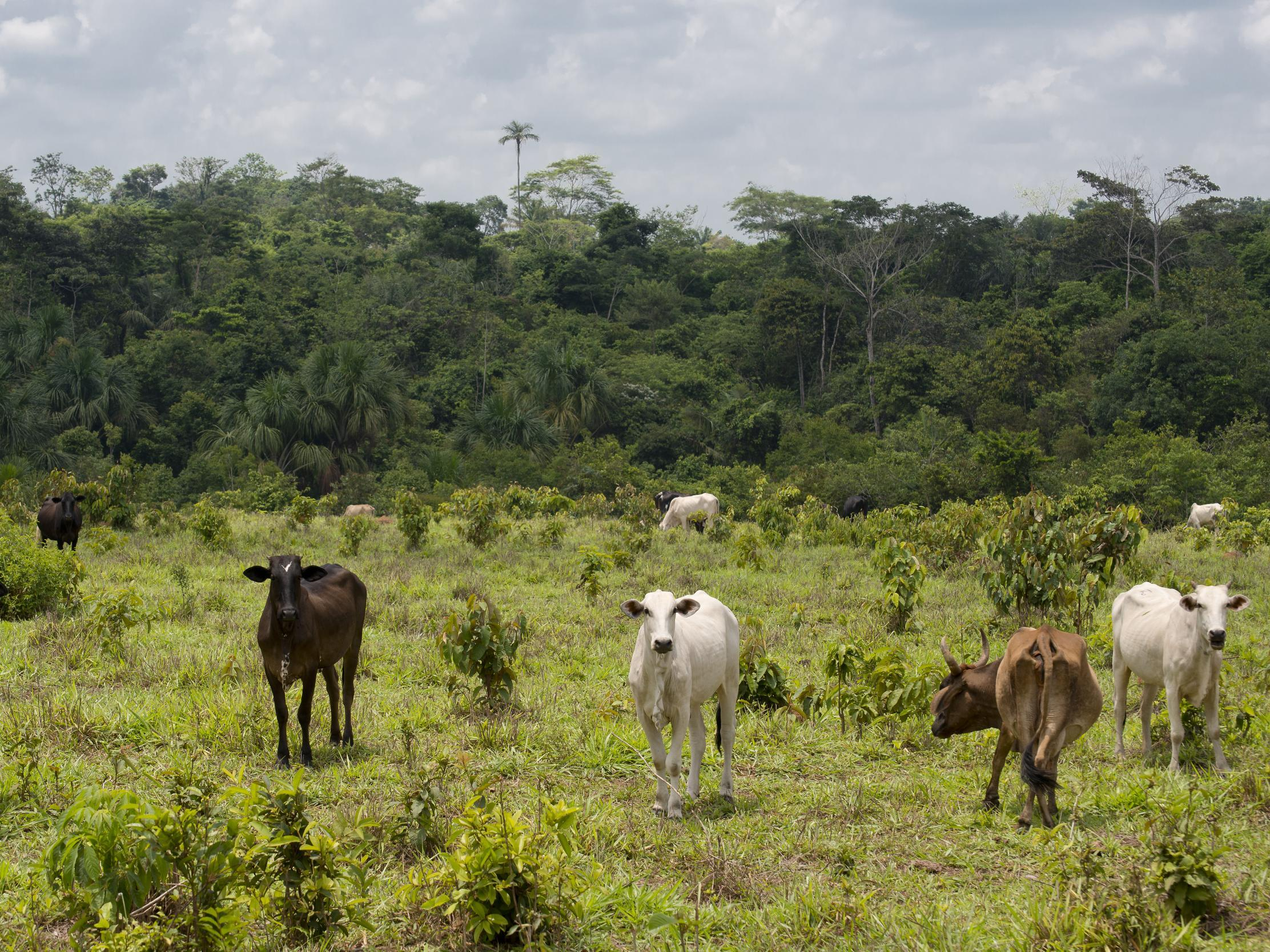 UK supermarkets are selling beef from firm linked to illegal destruction of Amazon rainforest
