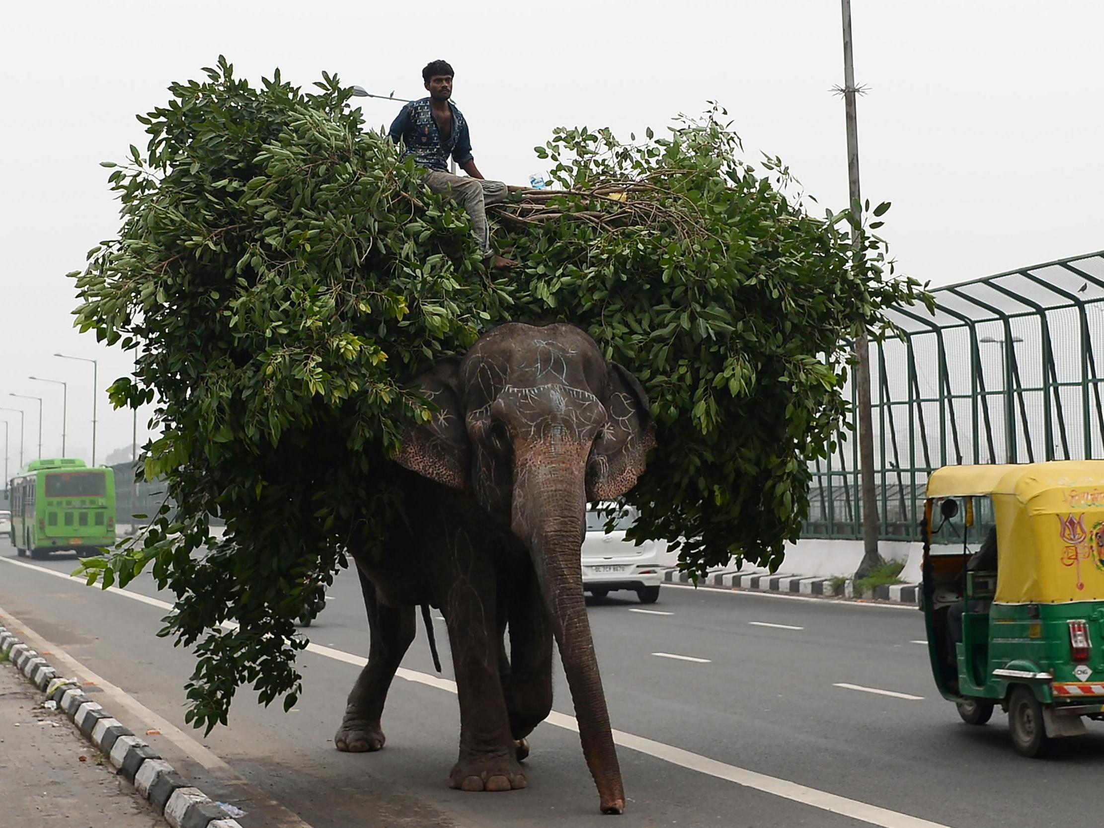 Last elephant owner in Delhi hiding in city forest to evade police