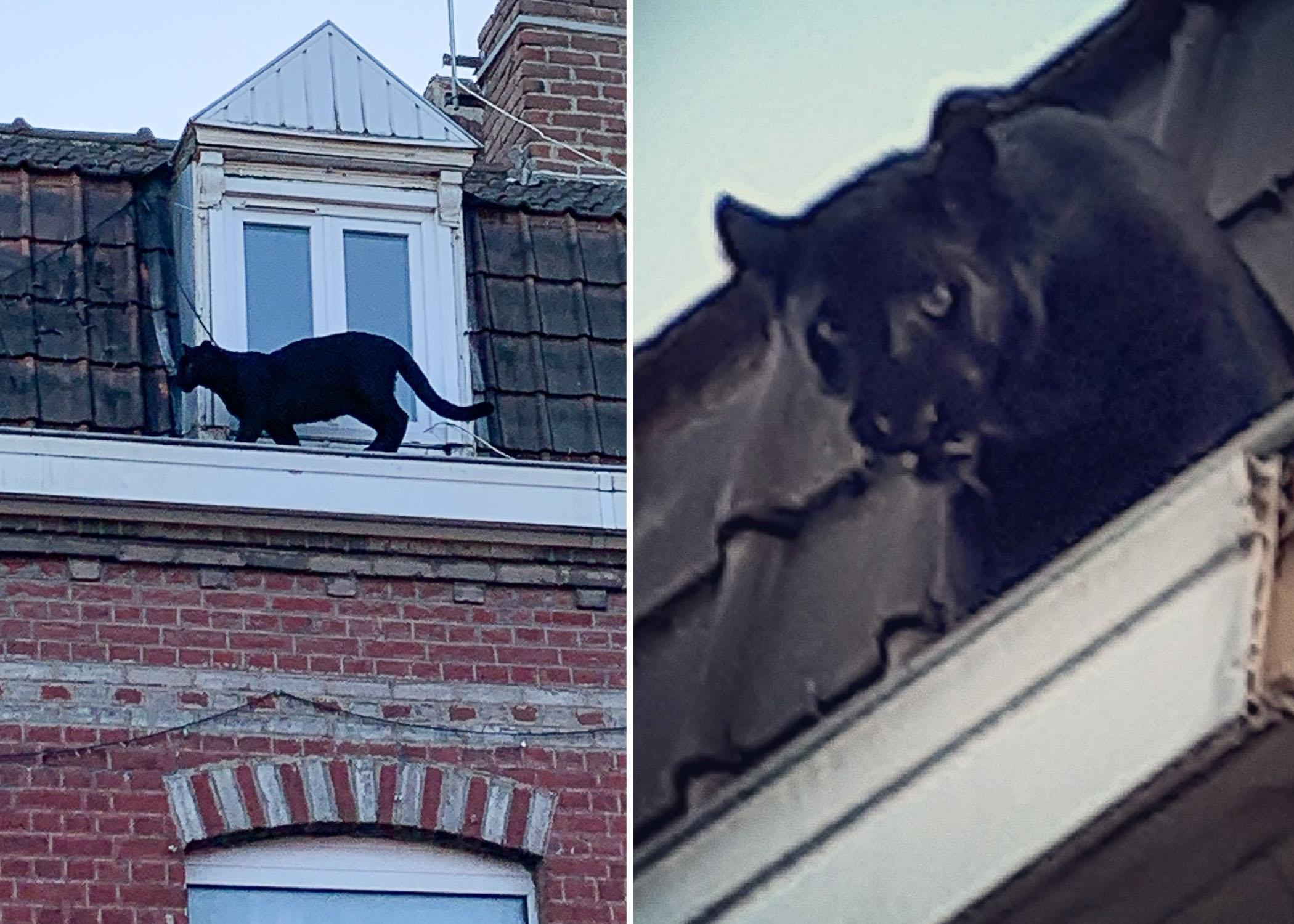 Black panther spotted prowling French rooftops