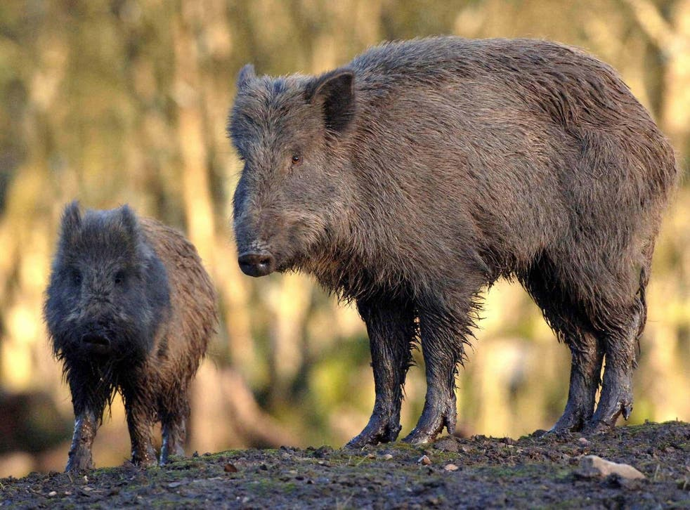 File photo shows a wild boar. The pair were on a boar-hunting trip