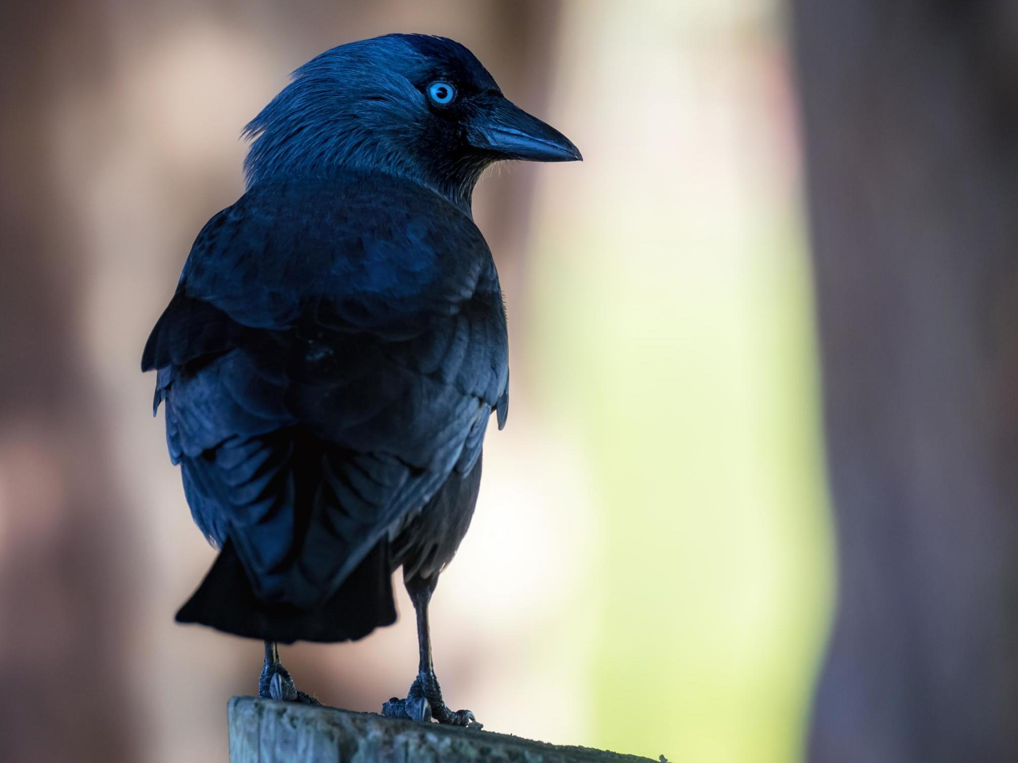 Jackdaws can identify 'dangerous' humans, scientists say
