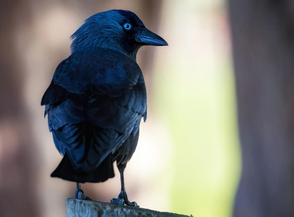 Jackdaws that had previously heard the warning call were defensive and returned to their nests more than twice as quickly on average