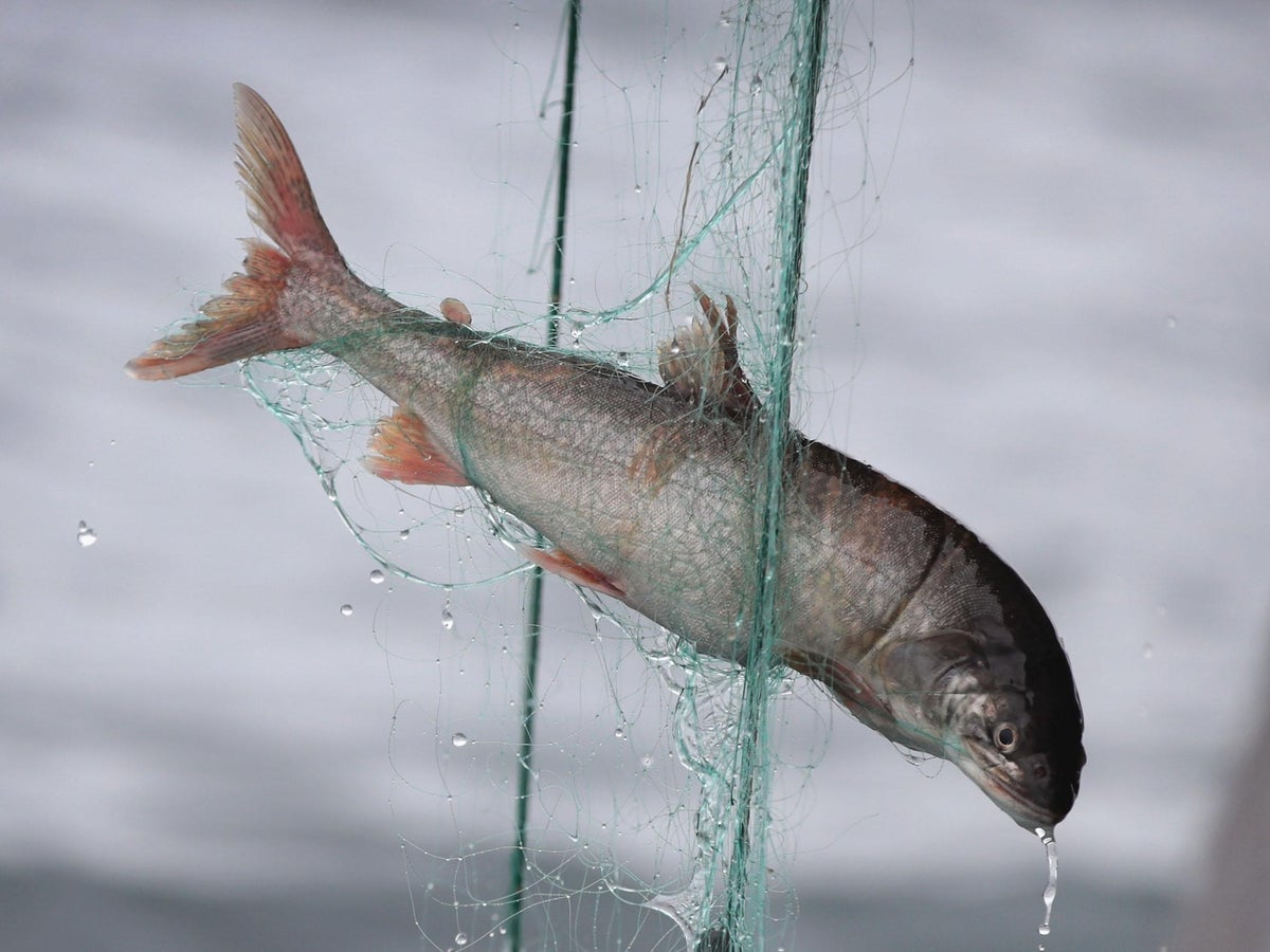 Fish Can Feel Pain In Similar Way To Humans Study Concludes The Independent The Independent