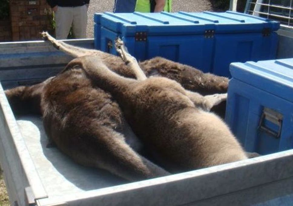 sale retailer 5e6b1 87aa2 Teenager charged with torturing and killing 20 kangaroos ...