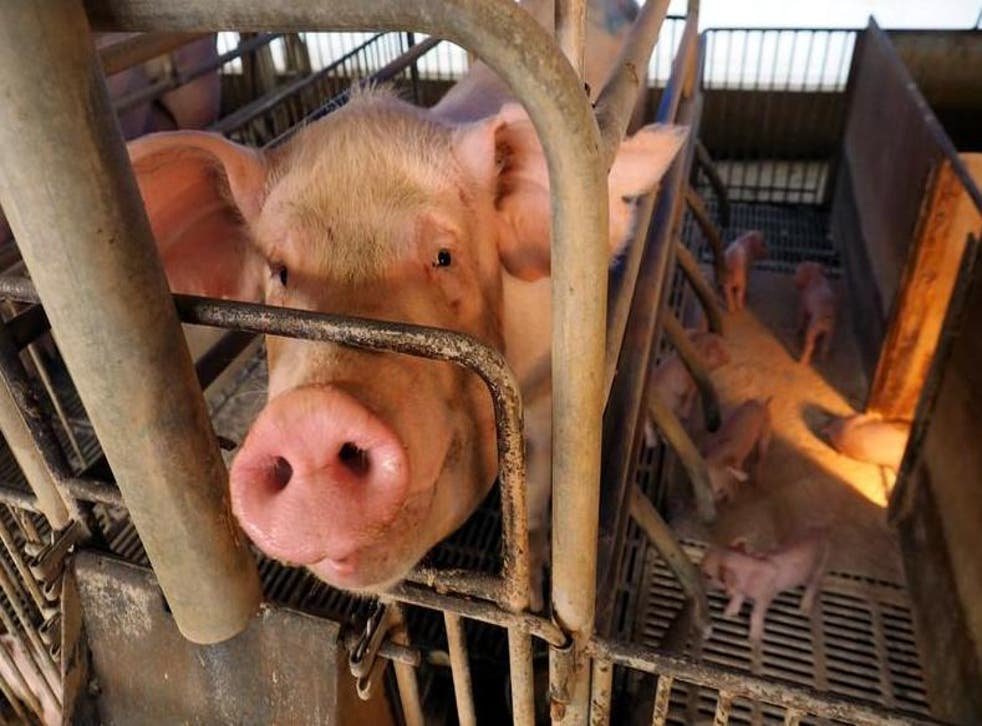 Sows spend weeks on end in farrowing crates