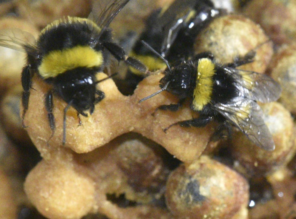 Nurse bees (pictured) not only sacrificed their shuteye to look after the larvae, they continued to sleep less when the brood moved on