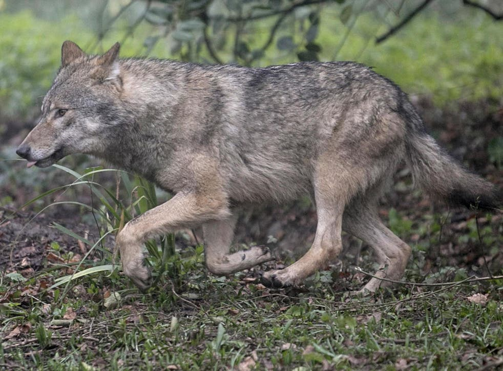 Wolves are a rare sight but are often shot when they are seen, say wildlife experts
