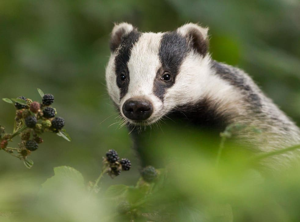 The badger cull - which has been going on for decades - is designed to halt the spread of bovine TB which costs taxpayers more than £100m