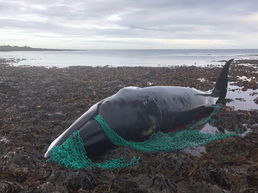 Pregnant whale found tangled in 'ghost fishing net' dies in Scotland