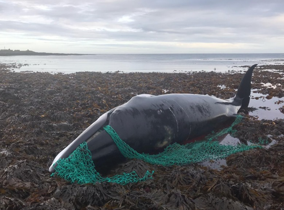 The minke whale was found ashore on the island of Sanday in Orkney