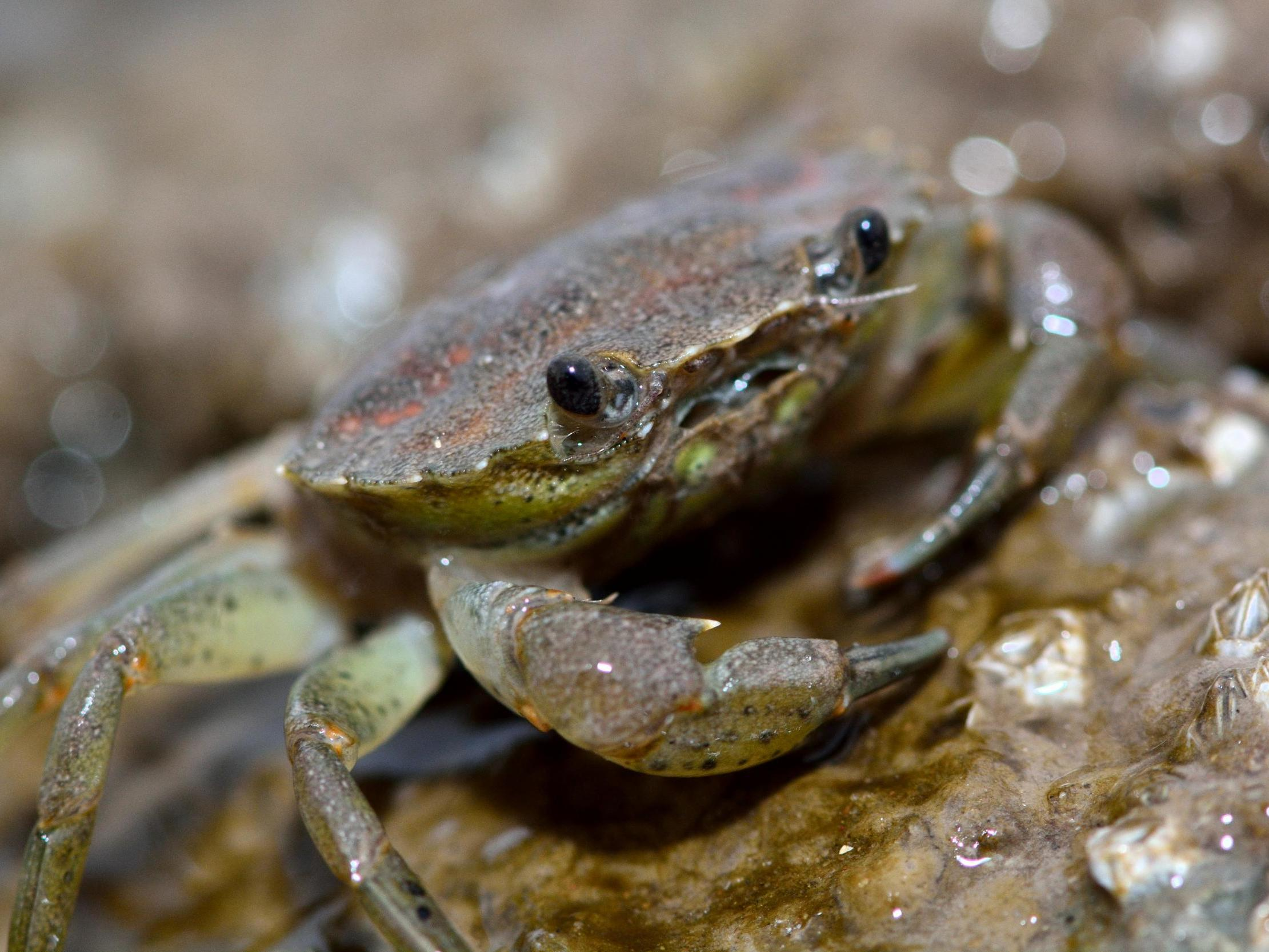 Crabs in Thames found with stomachs 'completely full of plastic'