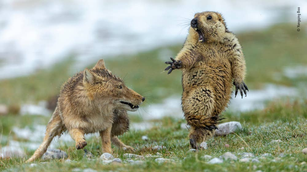 Grand title winner and Joint Winner, Behaviour: Mammals