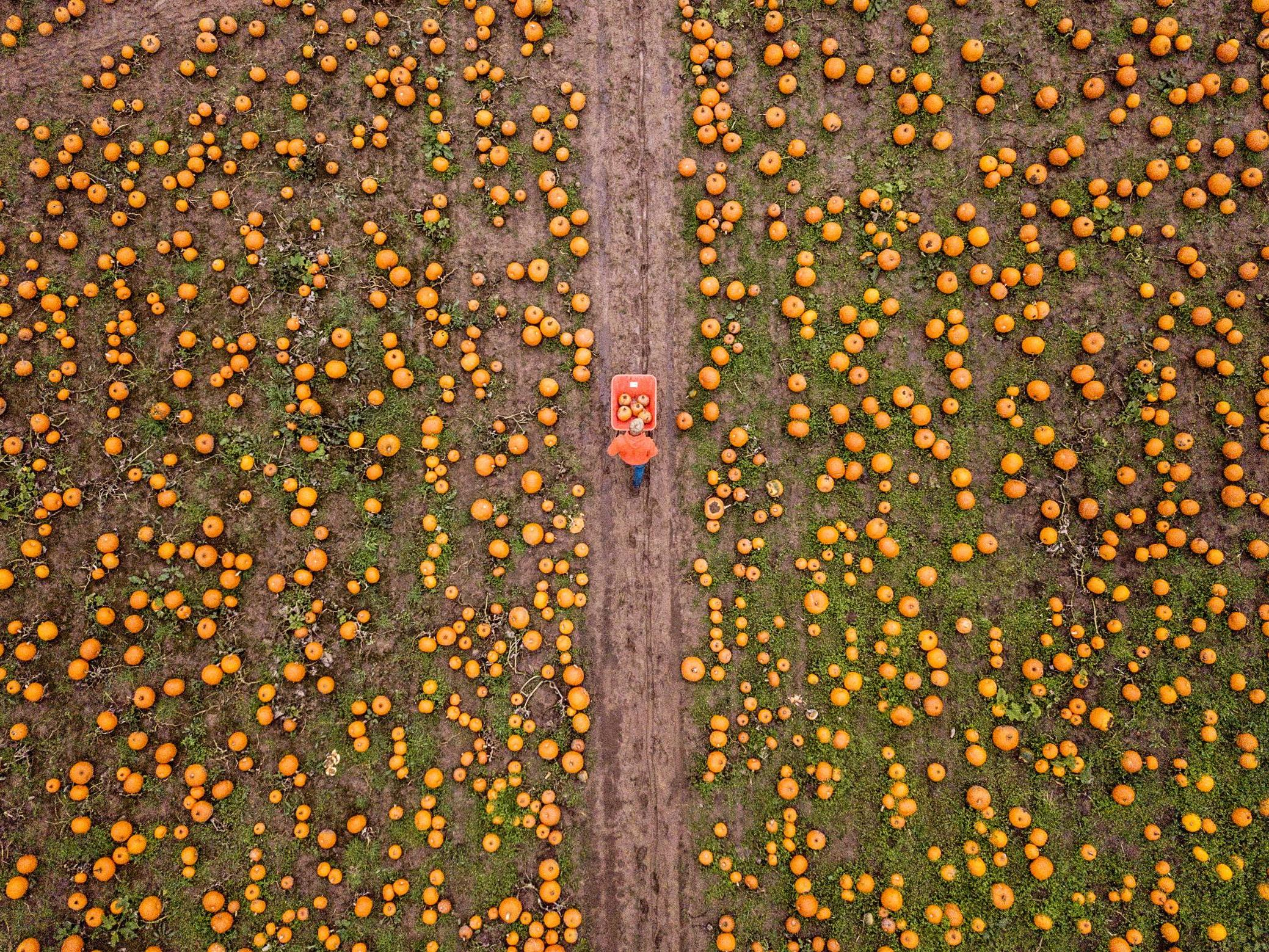 Incredible drone images show UK's largest pumpkin farm that sells 25,000 every autumn
