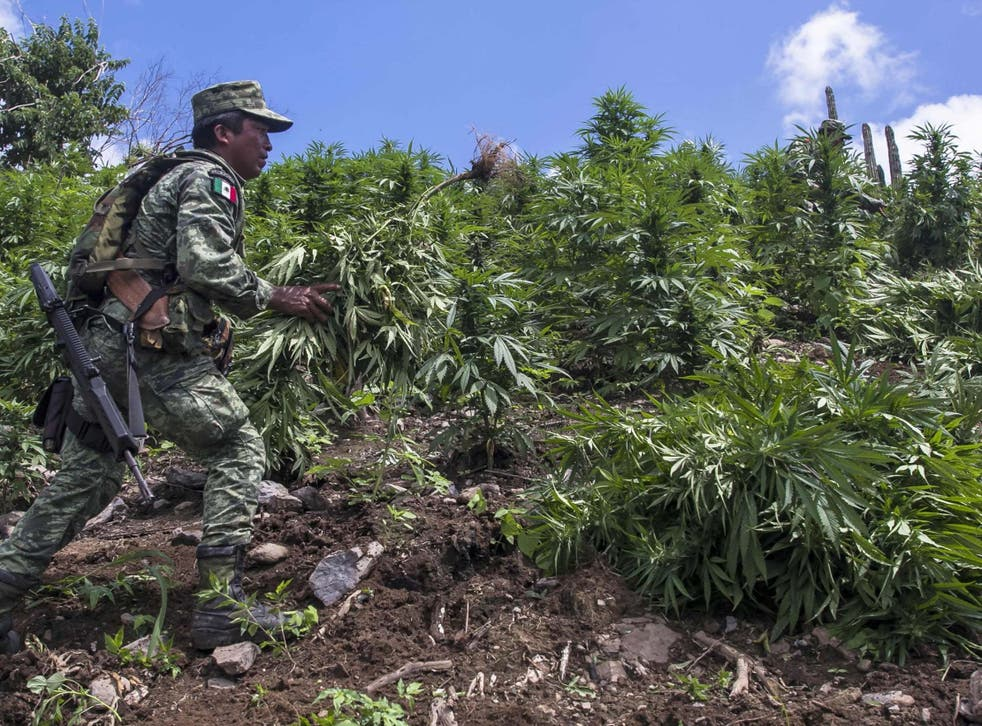 A Mexican soldier takes part in the destruction of an illegal marijuana plantation in Sinaloa, Mexico, on on 2 October 2019