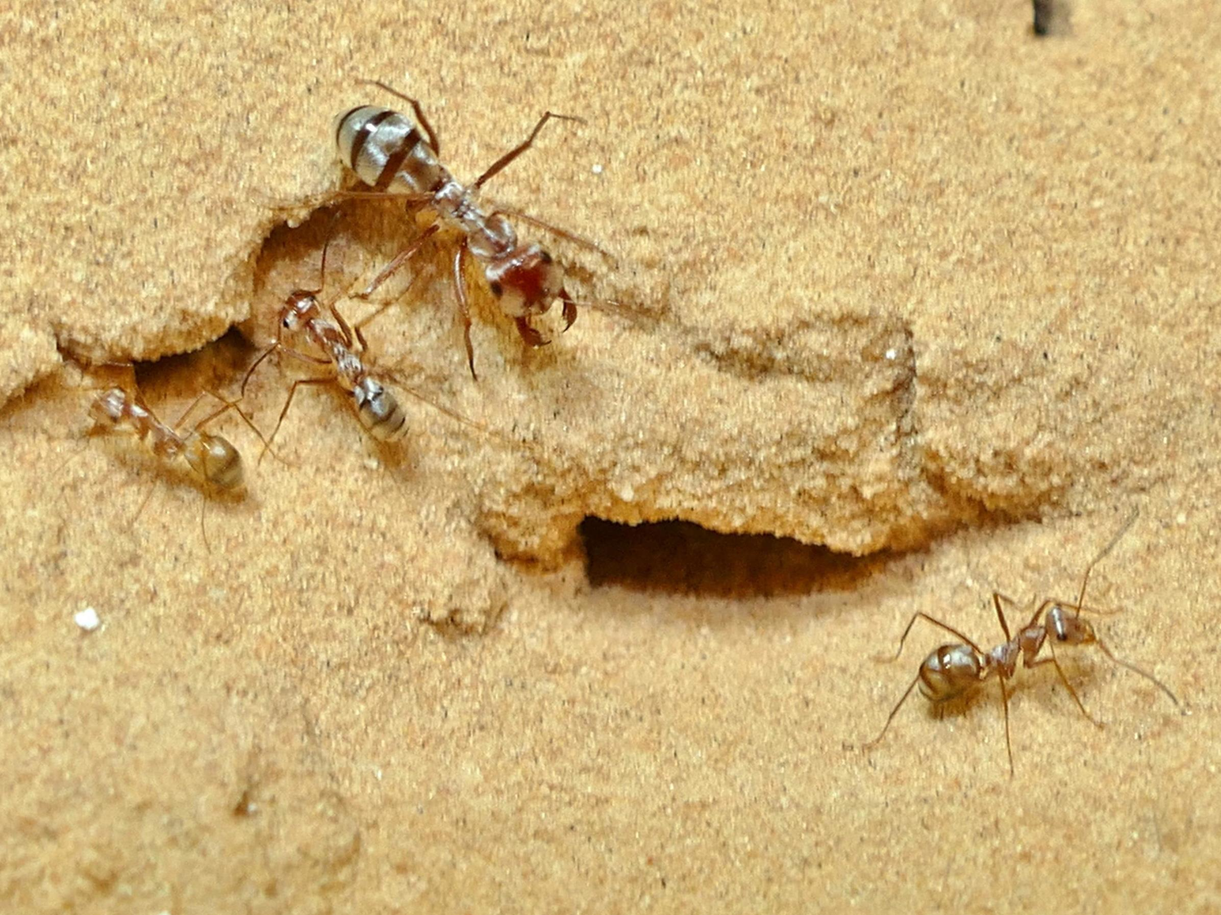 Scientists discover world's fastest ant