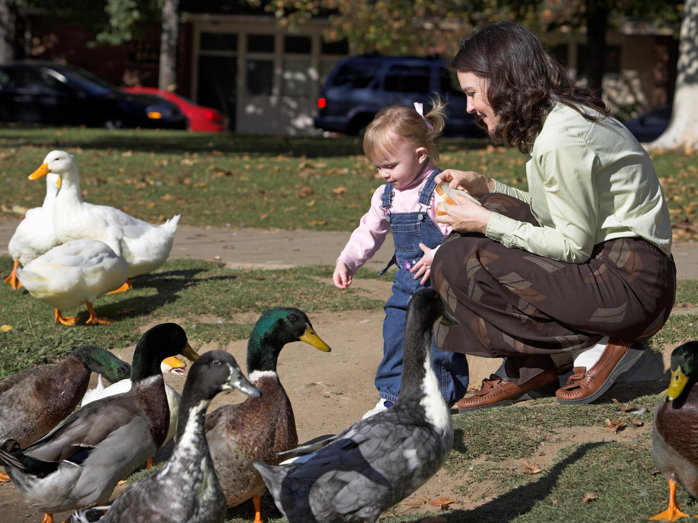 Animal Nature Wildlife Print          NEW POSTER Duck