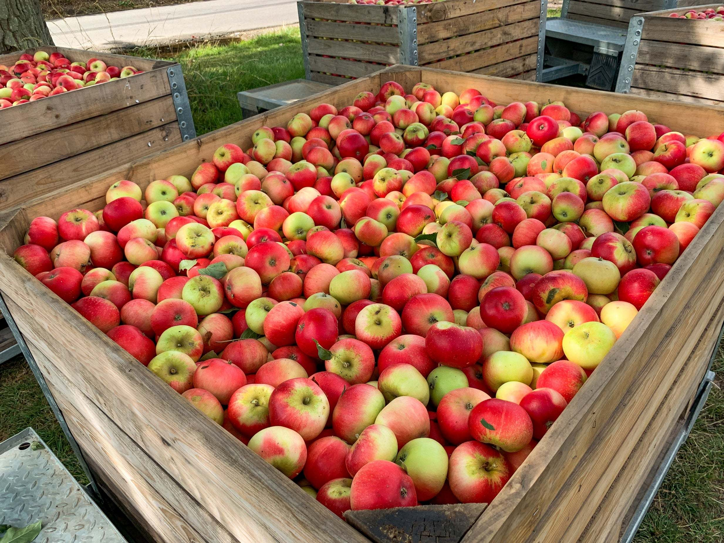 Millions of apples left to rot in UK as Brexit uncertainty worsens E…