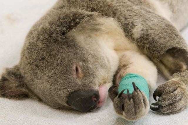 Animal rescuers fear for the global koala population
