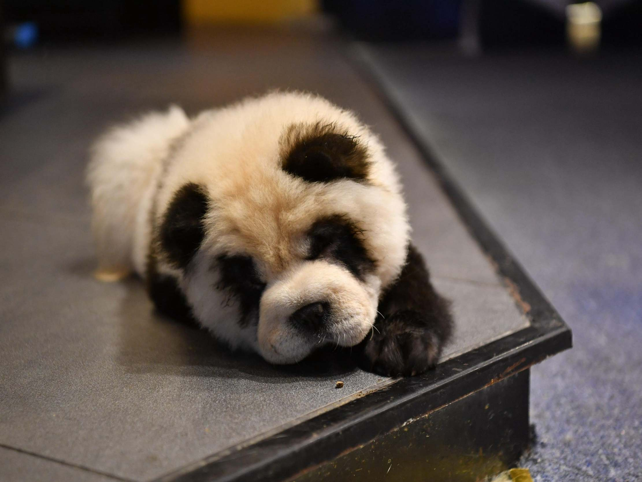 Chinese Cafe Faces Backlash After Painting Dogs To Look Like Pandas The Independent The Independent
