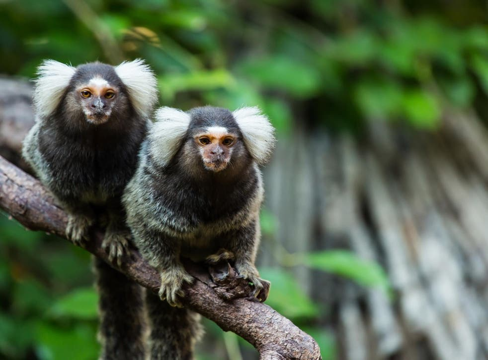 Scientists already knew that marmoset calls varied from one region to the next but they didn't know why