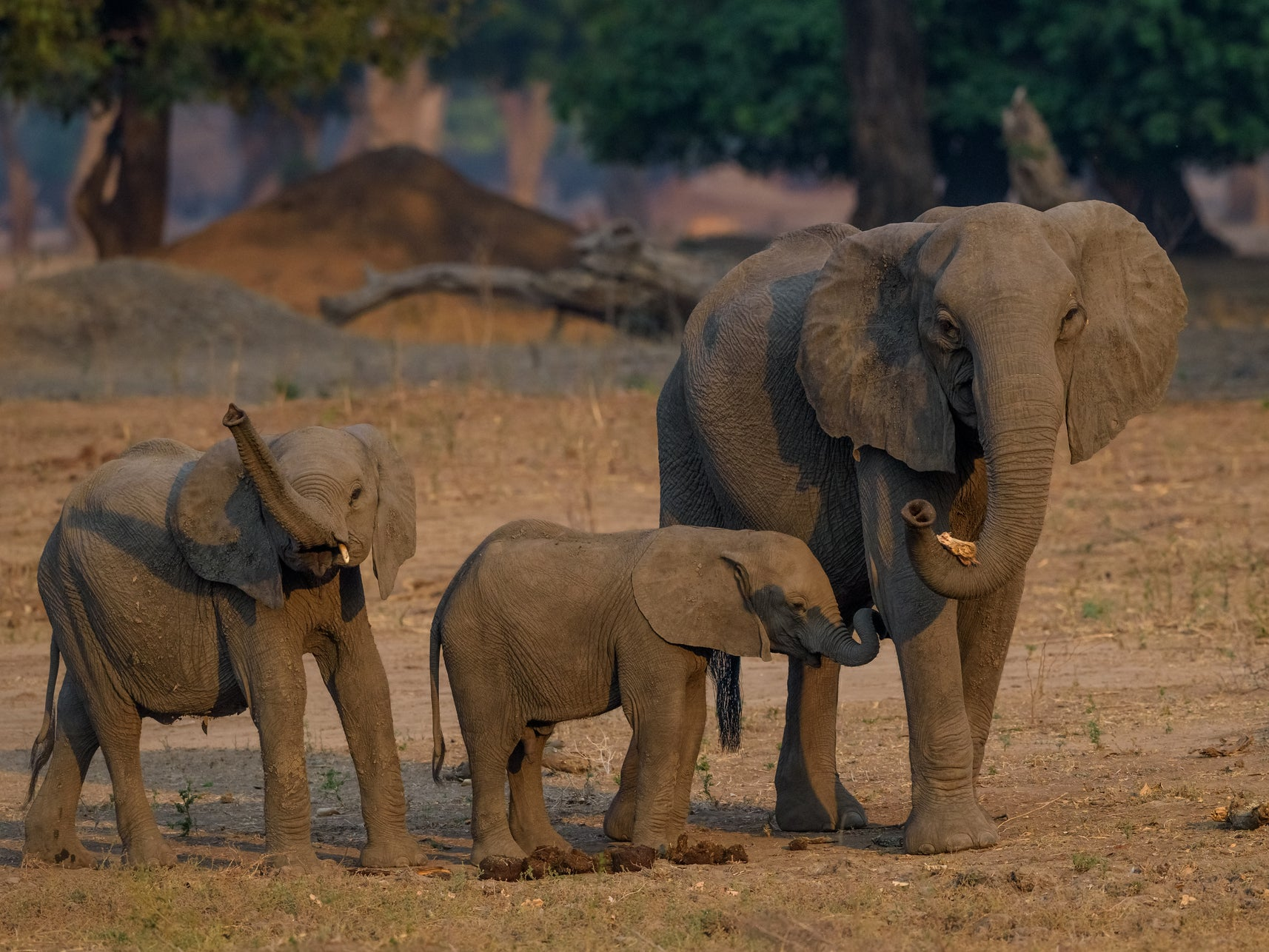Outrage as 30 wild baby elephants 'flown from Zimbabwe to China for lifetime in captivity'